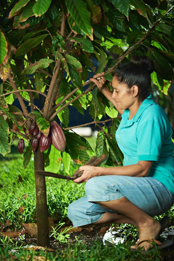 Сборщица какао