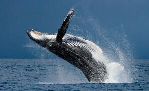 Викторина о китах и дельфинах - 4. Как киты прыгают, рожают и поют песни?