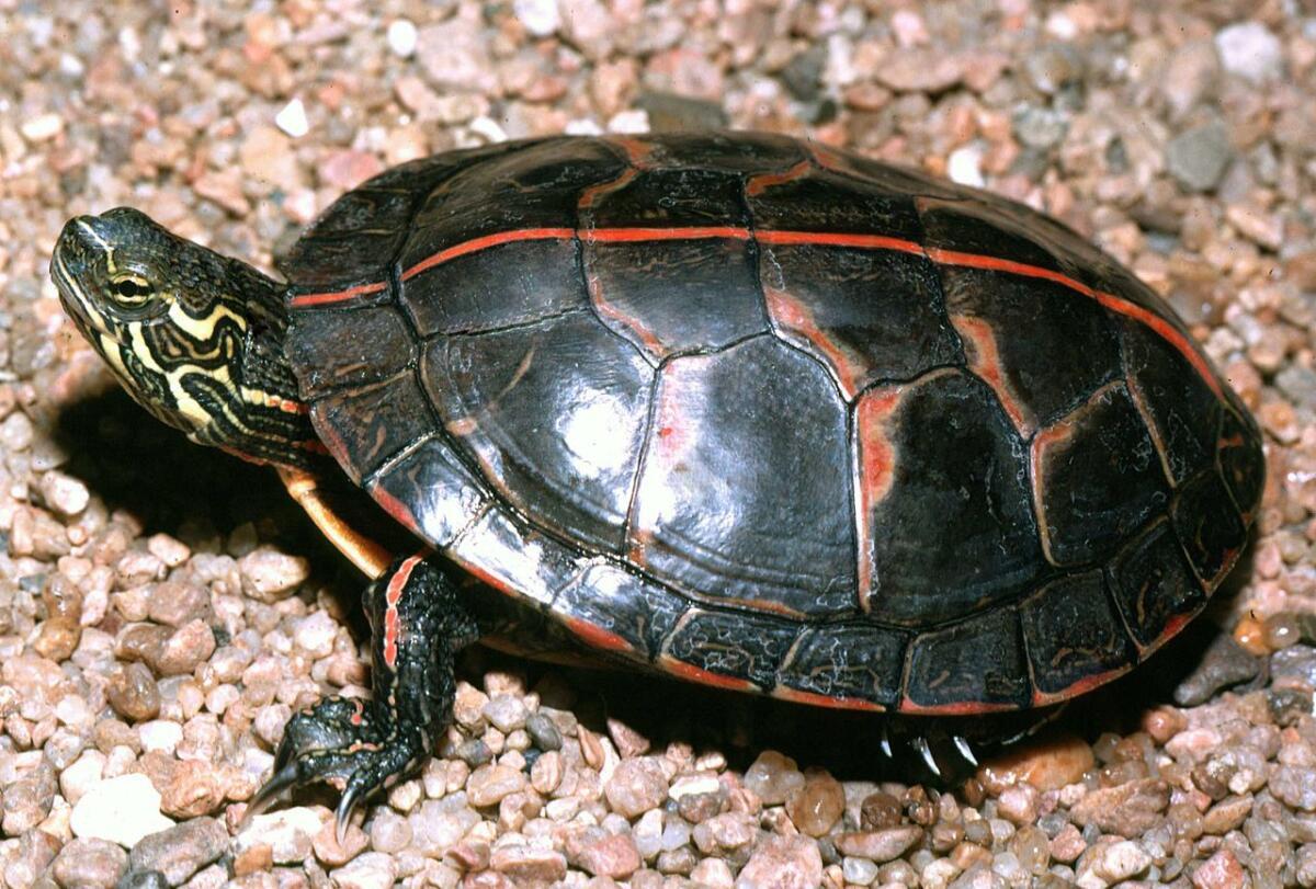 Расписная черепаха обитает в Алабаме