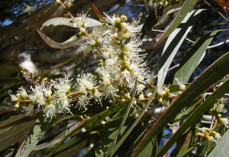 Кайюпутовое дерево (Melaleuca leucadendra) из рода Чайное дерево