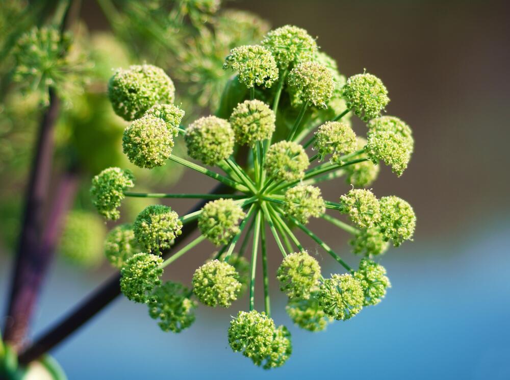 Соцветие дягиля лекарственного