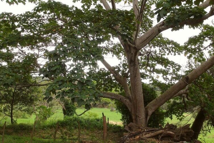 Бальзовое дерево
