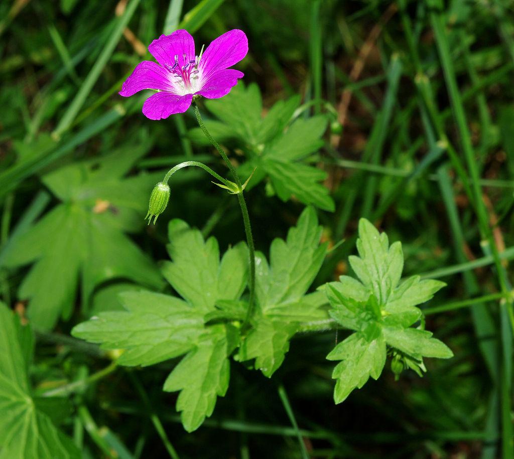 Герань болотная или Журавельник болотный (Geranium palustre L.)