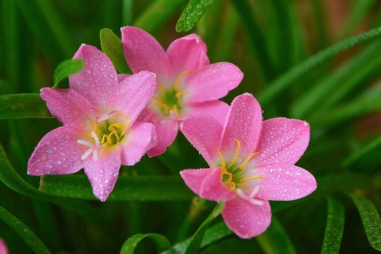 Зефирантес — род цветковых растений семейства Амариллисовые