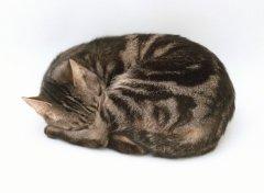 Кошачий образ жизни предполагает сон в течение большей части суток...