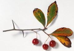 Боярышник, как яблоня и груша, относится к семейству розанных...