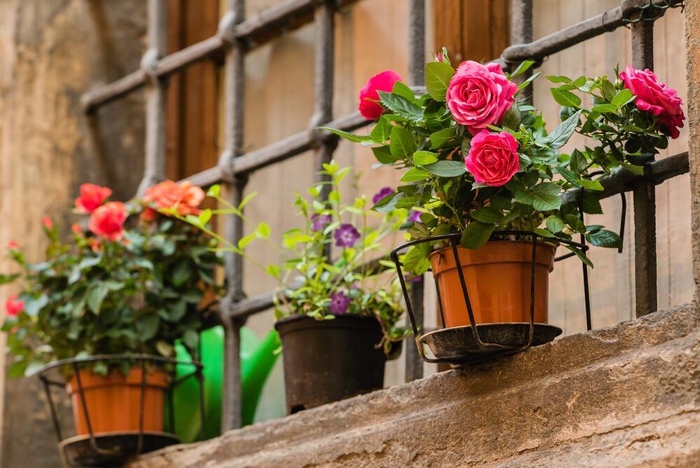 Как выращивать миниатюрную розу дома? растения школажизни.ру.