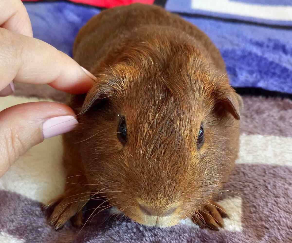 Морская свинка окраса «Шоколадный агути»