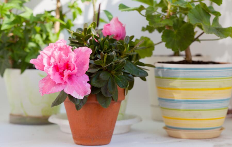 Цветущая розовая азалия