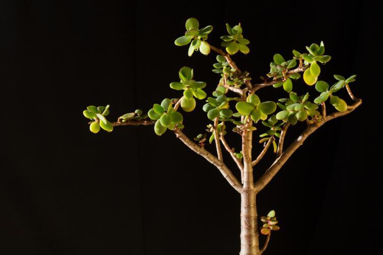 Крассула портулаковидная, или Денежное дерево (Толстянка)