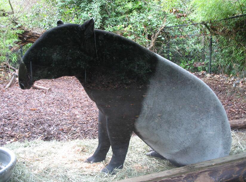 Среди других копытных тапиры выделяются «собачьей» привычкой «сидеть» на задних лапах