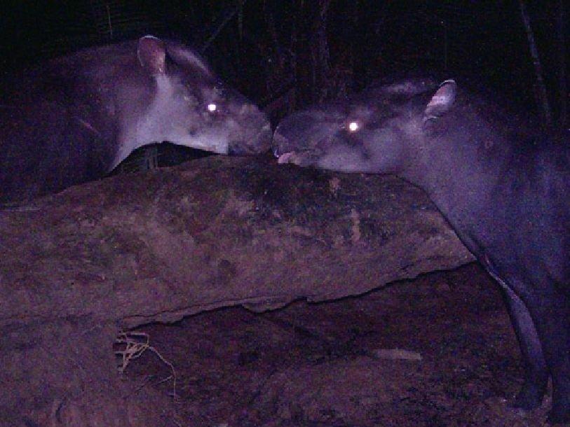 Малый чёрный тапир, или Tapirus Kabamani