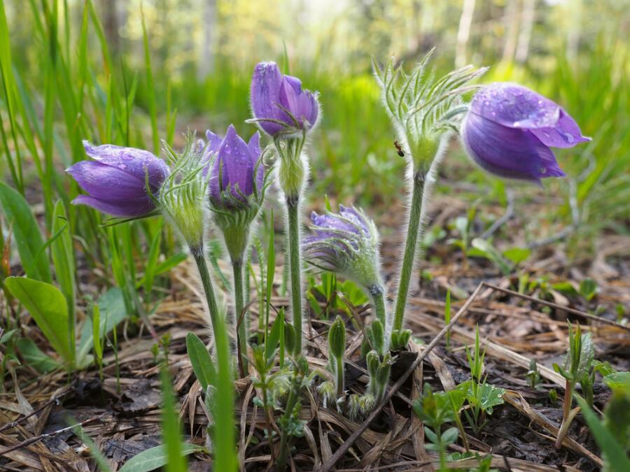 Весенние цветы (Прострел раскрытый)
