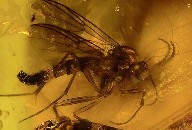 Carmenelectra shechisme— ископаемая муха, запечатанная в янтаре