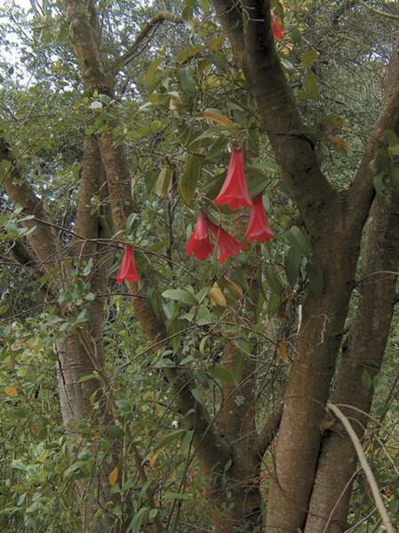 Лапажерия (Lapageria rosea)