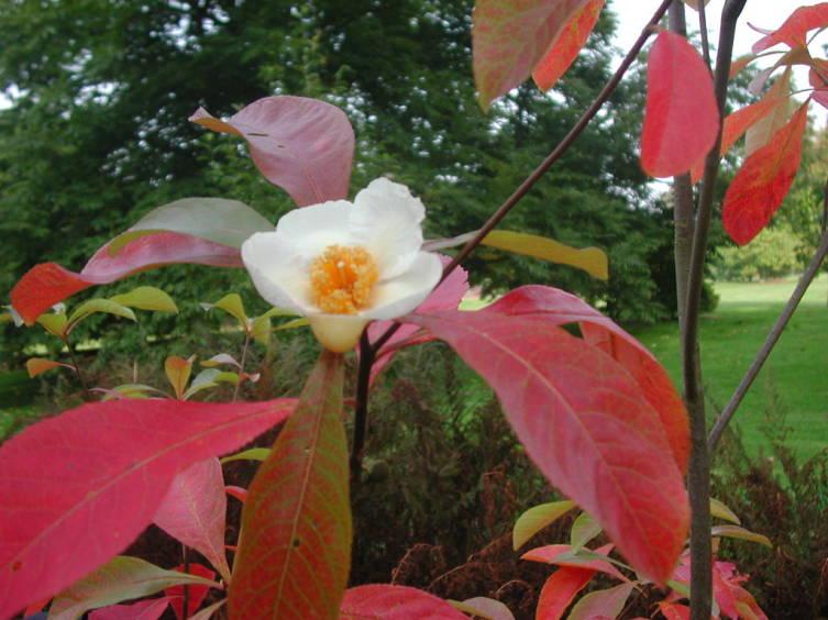 Франклиния (Franklinia alatamaha)