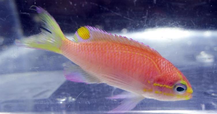 Эта симпатичная рыбка названа в честь Барака Обамы