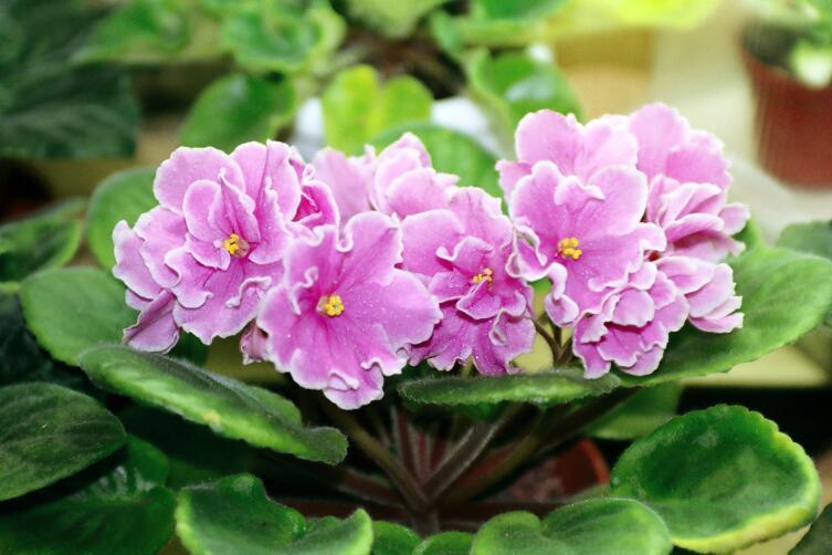 Сенполия фиалковая «Pink Amiss» (Saintpaulia)