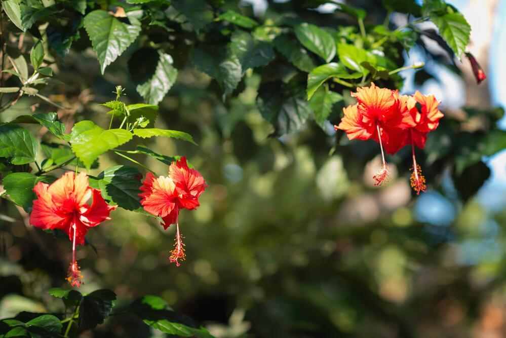 Гибискус (Hibiscus)