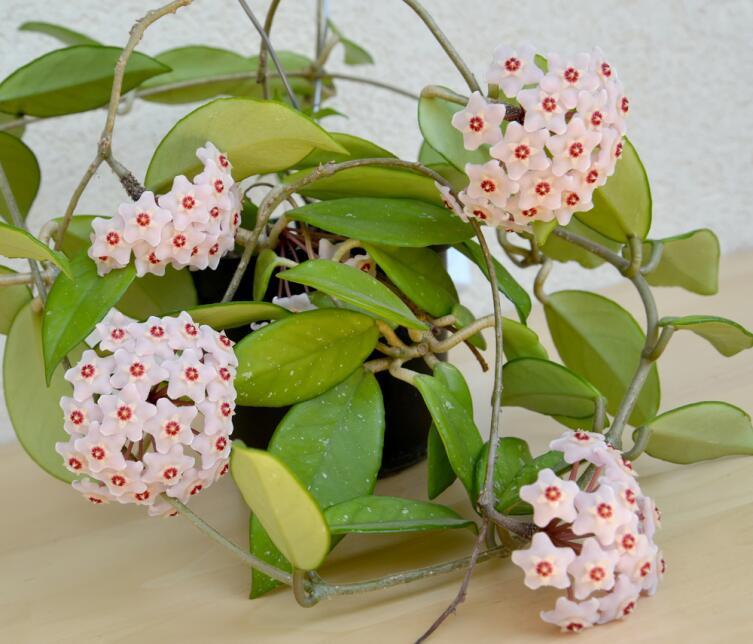 Цветущая Хойя мясистая или Восковой плющ (Hoya carnosa)