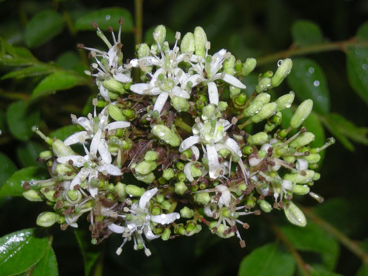 Муррайя Кёнига— «дерево карри»