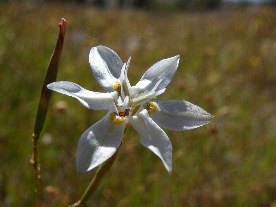 Цветок мореи (Moraea)— растения, названного Линнеем в честь своей жены Сары Лизы Мореи и её отца