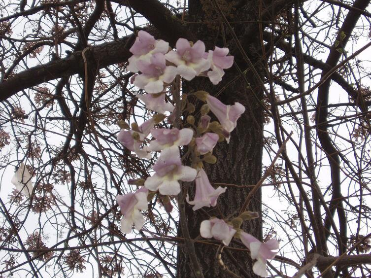 Цветки Павло́внии (Paulownia fortunei)