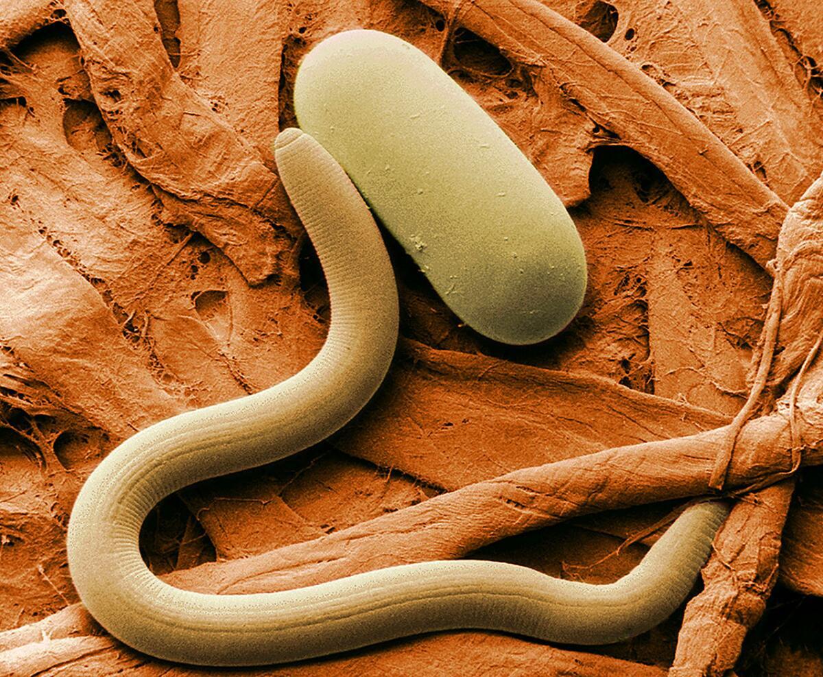 Нематода (Heterodera glycines)