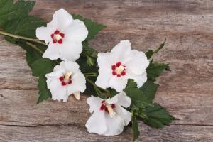 Бессмертный цветок - гибискус древовидный. Как его вырастить?