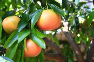 Грейпфрут: чего от него больше - пользы или вреда?