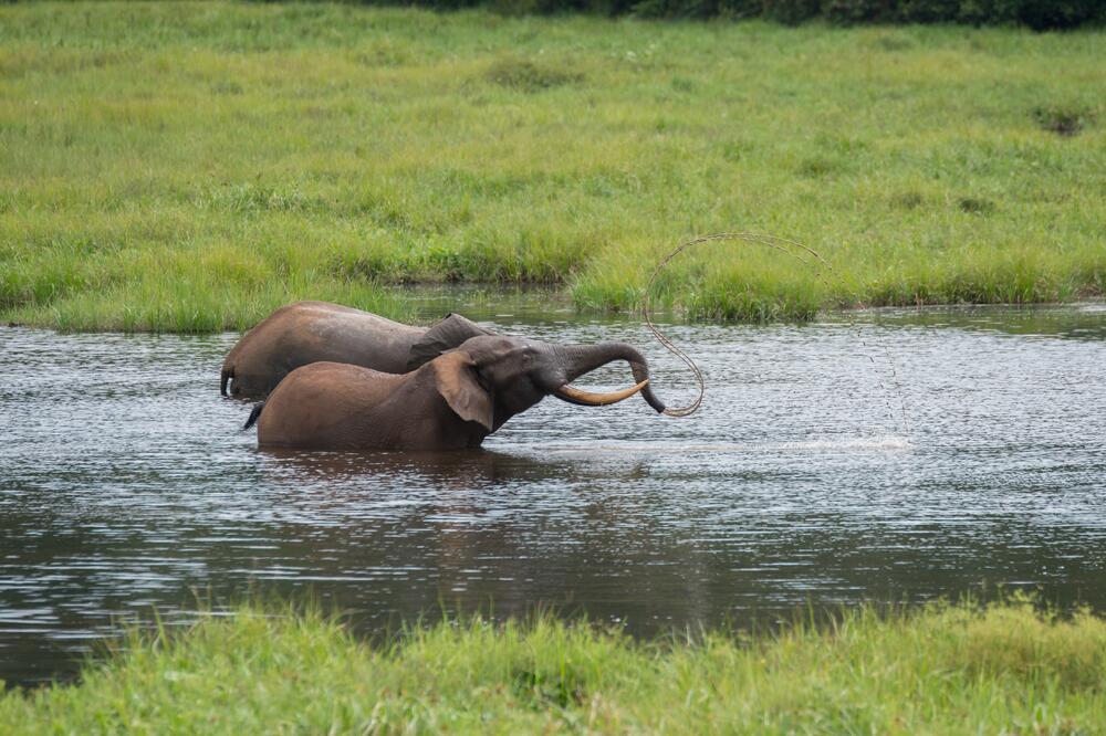 Слоны купаются в притоках Конго