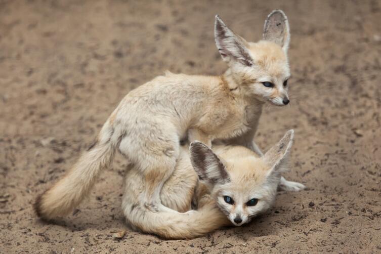 Какая лиса меньше обычной кошки?