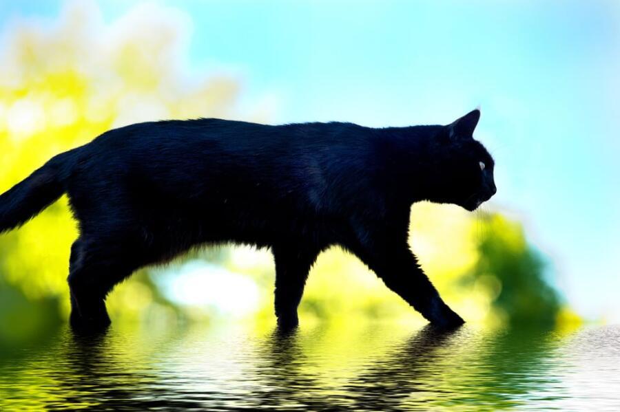 Что делать, если черная кошка перешла вам дорожку? Истоки суеверия
