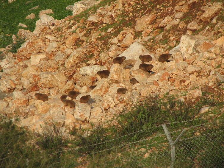 Колония капских даманов на севере Израиля
