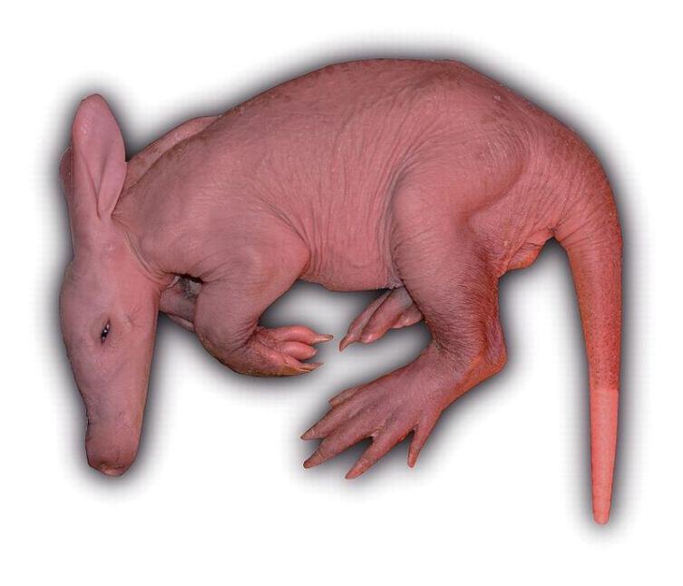 Новорождённый трубкозуб