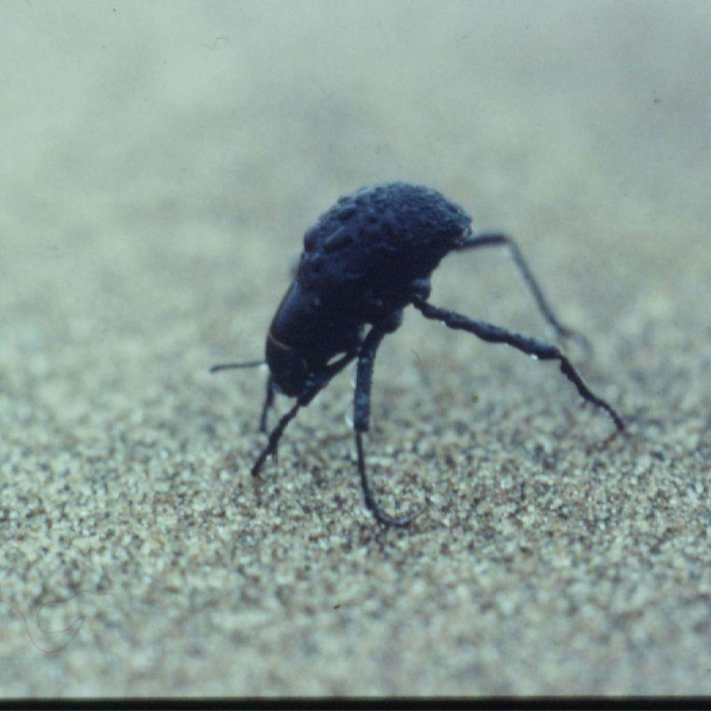 Onymacris unguicularis— жук пустыни Намиб