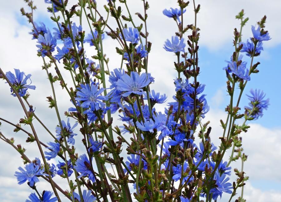 Букет цветов цикория