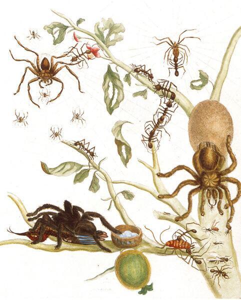 Мария С. Мериан, иллюстрация из книги «Metamorphosis insectorum surinamensium», 1705 г.
