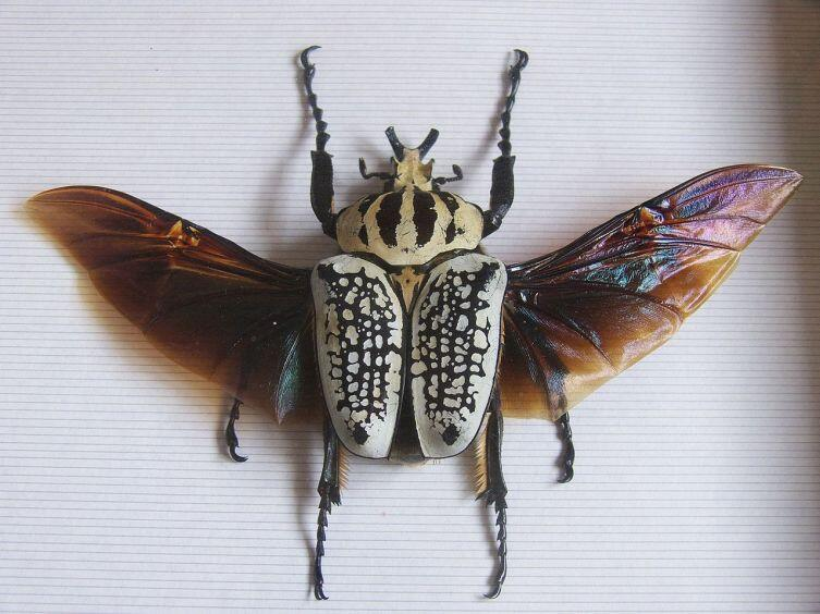 Goliathus orientalis с расправленными крыльями
