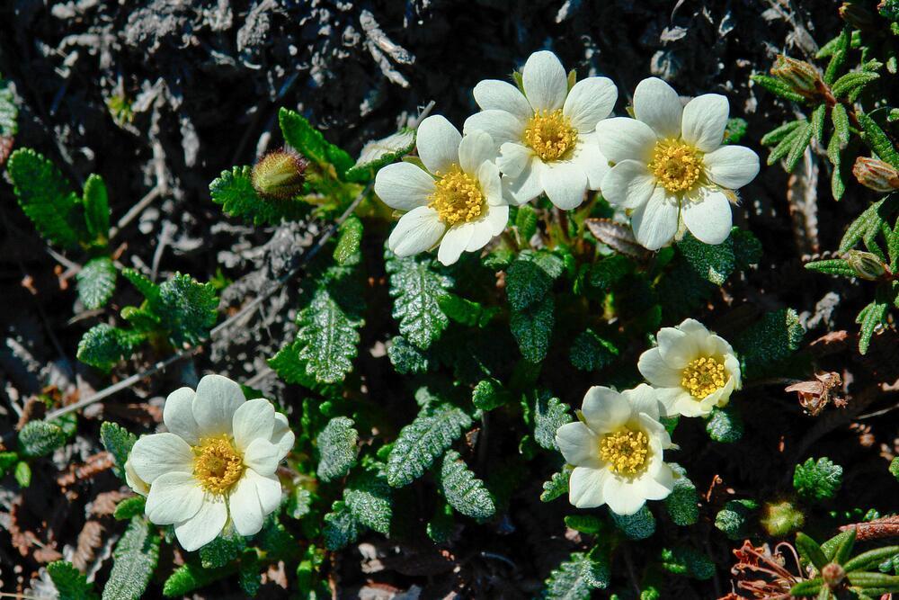 Цветущие дриады в тундре Чукотки