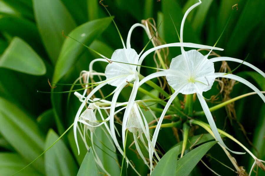 Гименокаллис— лилия-паук