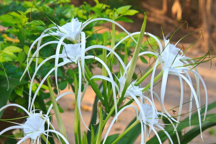 Гименокаллис - лилия-паук. На что способна эта красота?