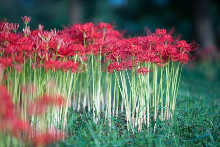 Ликорис - ураганная лилия. Как вырастить в своем саду эту экзотику?