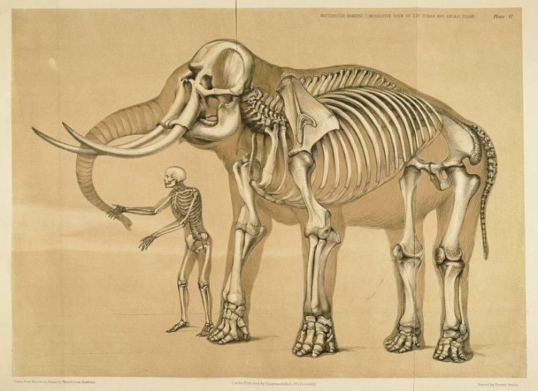 Хокинс, «Человек и слон», 1860 г.