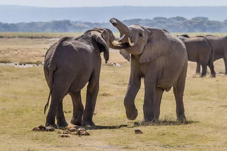 Слонопедия–3. Что мы знаем о слоновой кости и слоновьих кладбищах?
