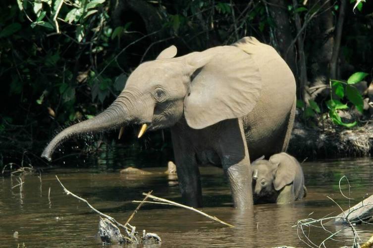 Африканские лесные слоны