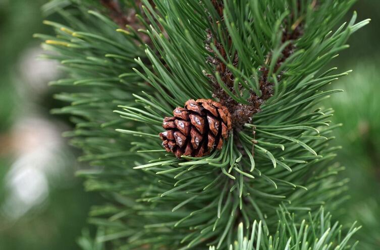 Почему на Новый год лучше купить живую елку?