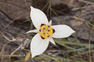 Калохортус - цветок, умеющий слушать. Как вырастить его в своем саду?