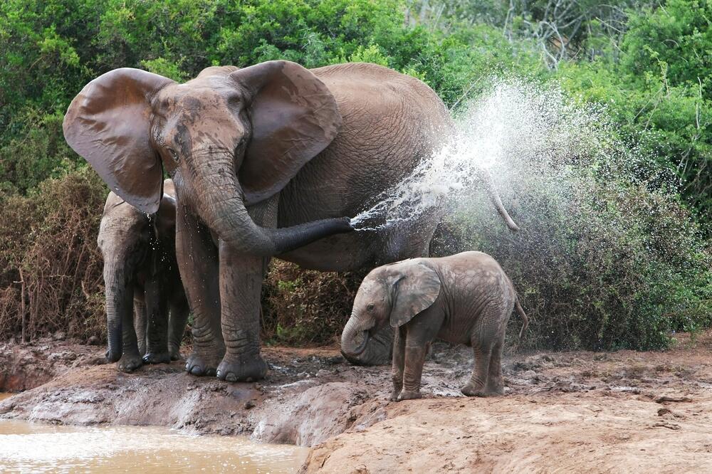 Слонопедия–4. Как слоняются слоны?