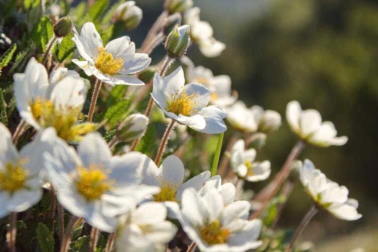 Куропаточья трава — Дриада (Dryas)